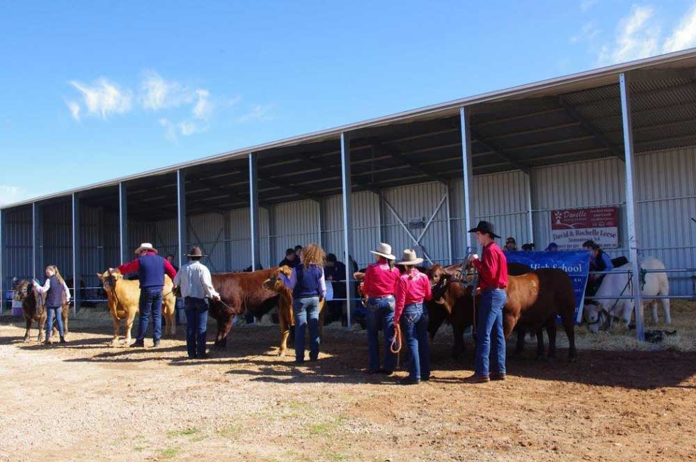 Cattle on display at the new cattle shed